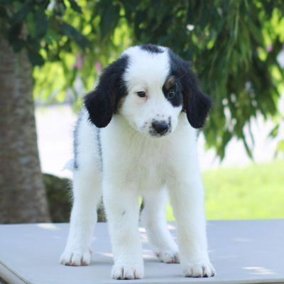 Princess- female Mini Bernedoodle puppie for sale in East Earl, Pennsylvania