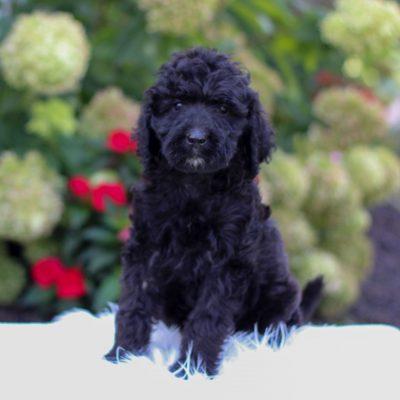 Raelyn - F1 Irish Doodle doggie for sale near Narvon, Pennsylvania