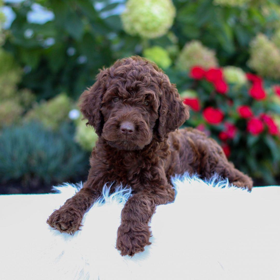 Redmond - F1 Irish Doodle pup for sale at Narvon, Pennsylvania