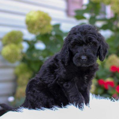 Rissa - F1 Irish Doodle puppy for sale in Narvon, Pennsylvania