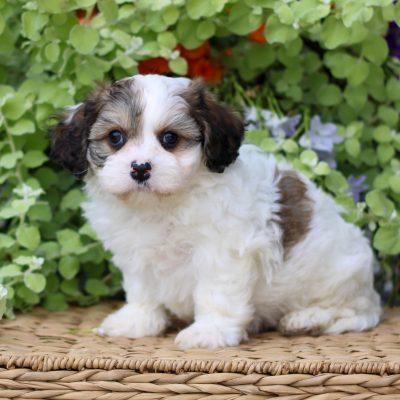 Roman - doggie F1 Cavachon for sale at Gordonville, Pennsylvania