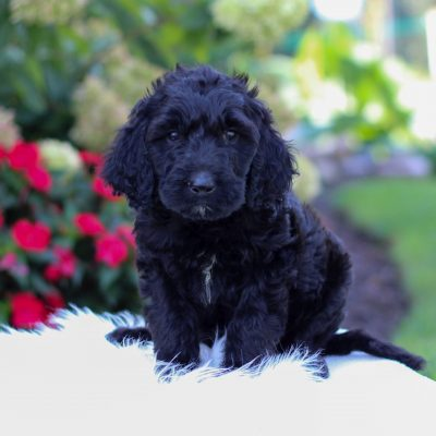 Roxy - F1 Irish Doodle pup for sale at Narvon, Pennsylvania