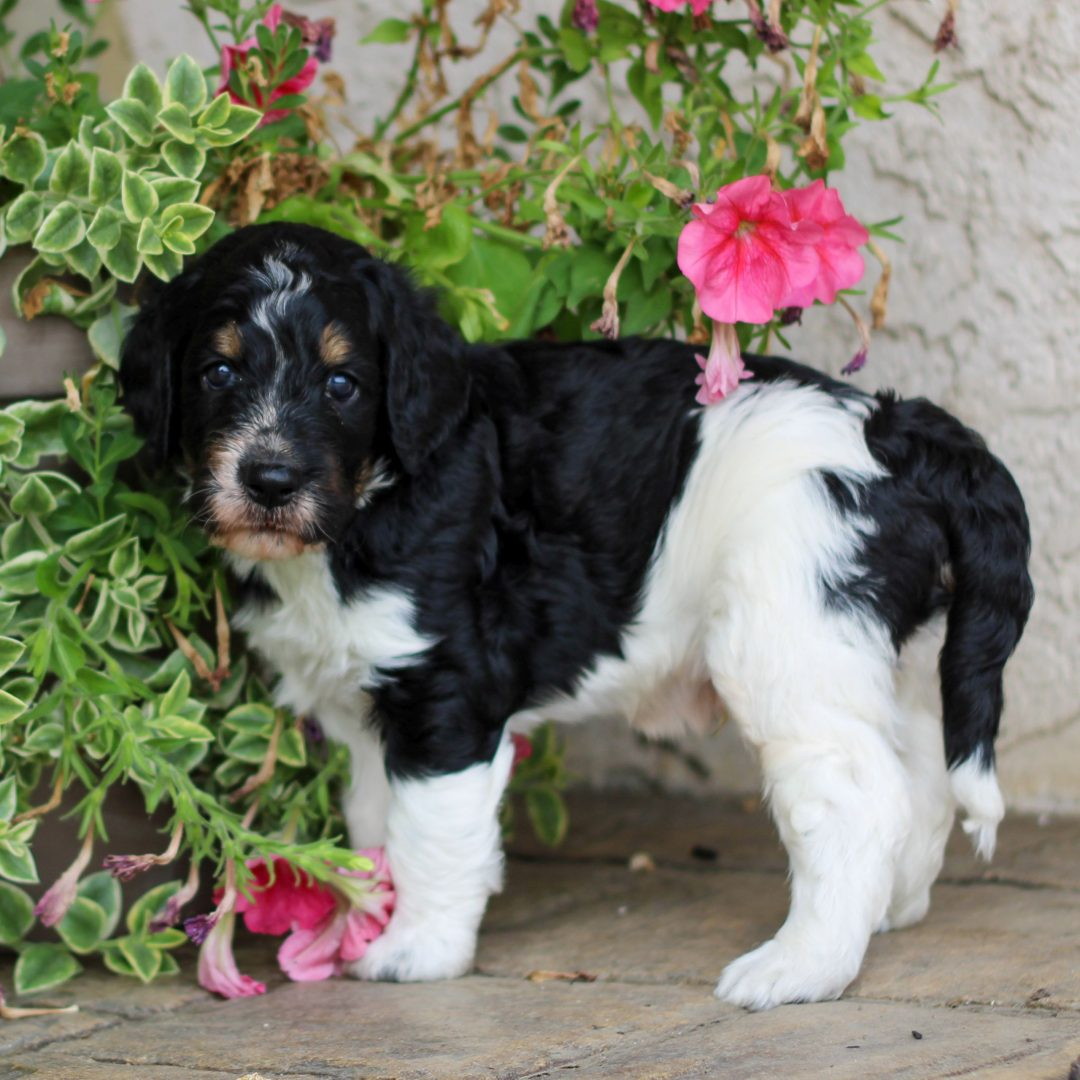 Ryder - pup F1 Springerdoodle for sale near Bird-in-Hand, Pennsylvania