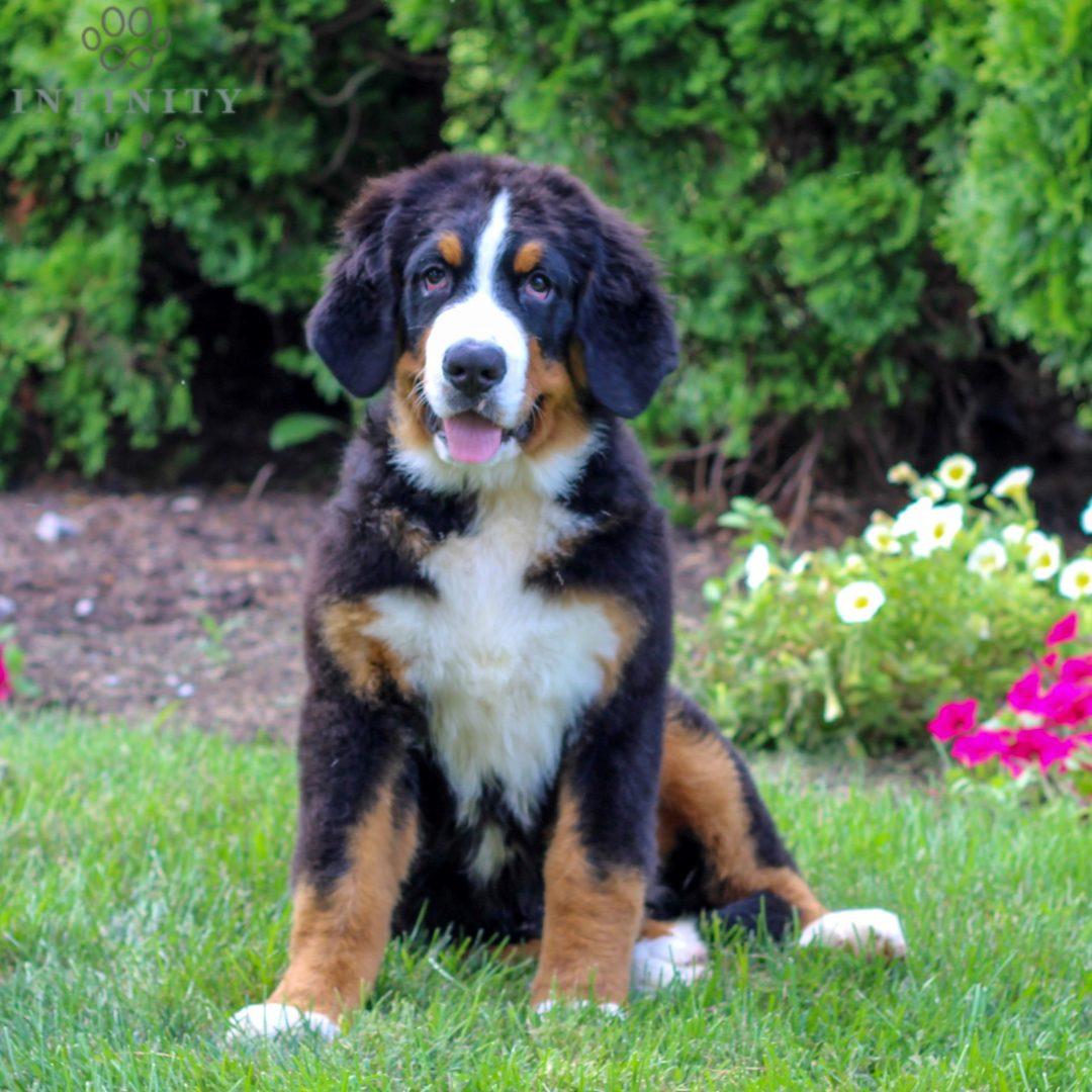 Scott - male AKC Bernese mountain Dog pupper for sale in Narvon, Pennsylvania