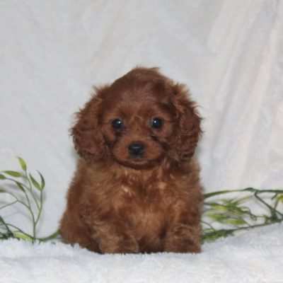 Tessa - F1 Cavapoo female puppie for sale in Quarryville, Pennsylvania