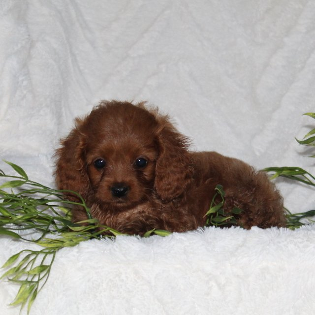 Timmy - F1 Cavapoo male pup for sale at Quarryville, Pennsylvania