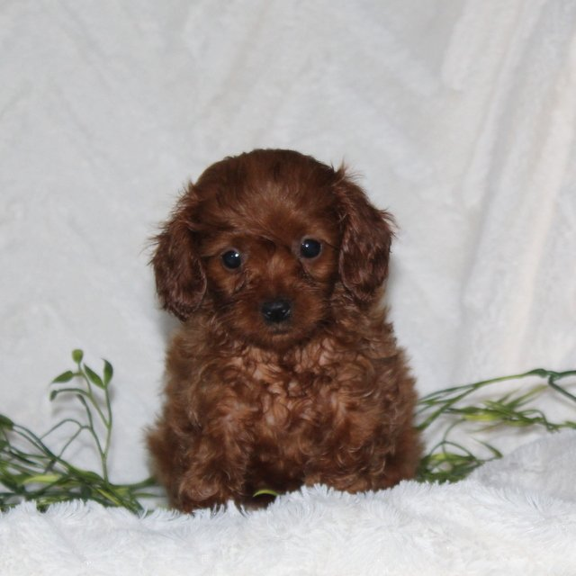 Tonya - F1 Cavapoo doggie for sale at Quarryville, Pennsylvania