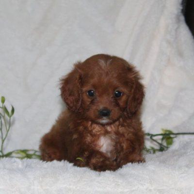 Trixie - F1 Cavapoo puppy for sale near Quarryville, Pennsylvania