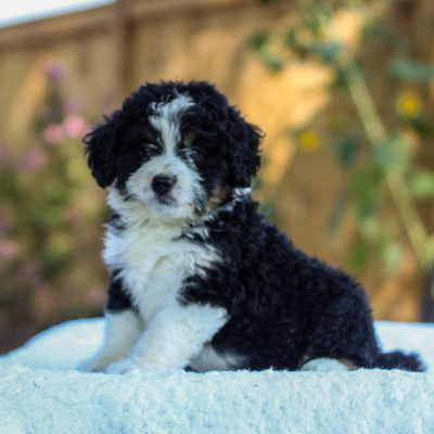 Valerie - f1 mini Bernedoodle doggie for sale at Gap, Pennsylvania