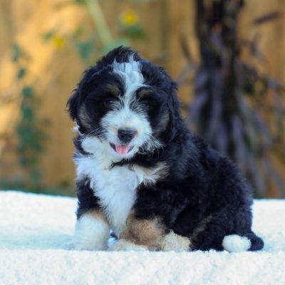 Victoria - f1 mini Bernedoodle puppie for sale near Gap, Pennsylvania