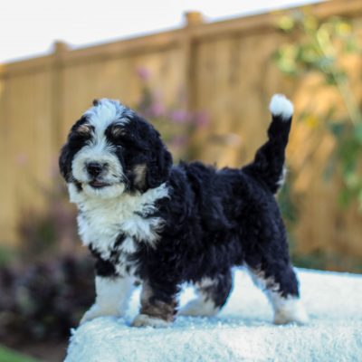 Vince - f1 mini Bernedoodle doggie for sale in Gap, Pennsylvania