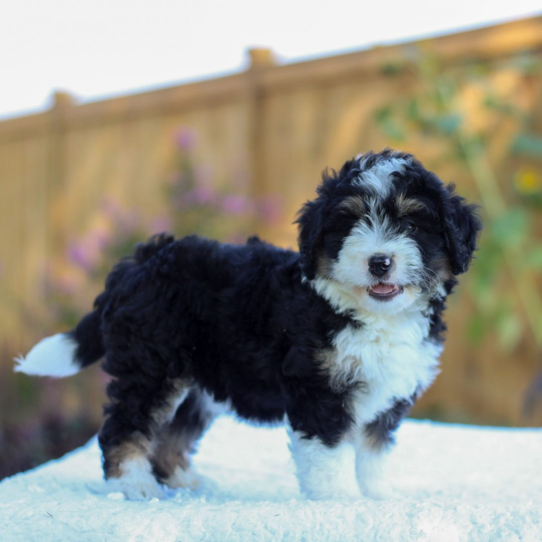 Viola - f1 mini Bernedoodle puppy for sale near Gap, Pennsylvania