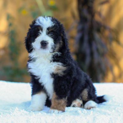 Violet - female f1 mini Bernedoodle pup for sale in Gap, Pennsylvania