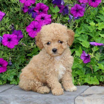 Vonnie - F1b Mini Goldendoodle puppie for sale near Cochranville, Pennsylvania