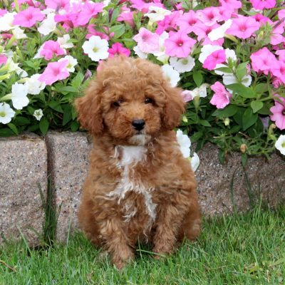 Walter - Mini Poodle male pupper for sale at Quarryville, Pennsylvania