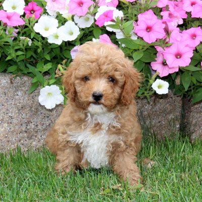 Wilbur - Mini Poodle male puppie for sale near Quarryville, Pennsylvania