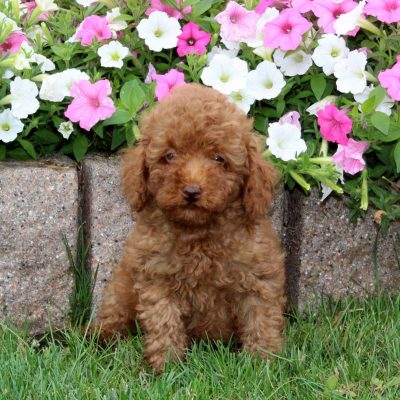 Willie - Mini Poodle male doggie for sale in Quarryville, Pennsylvania