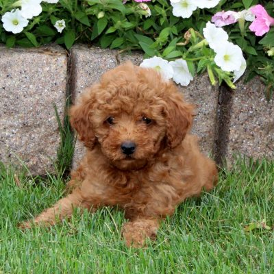 Wilson - Mini Poodle male puppy for sale at Quarryville, Pennsylvania
