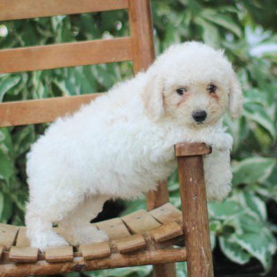 Yalonda - F1 Bichpoo pup for sale in Morgantown, Pennsylvania