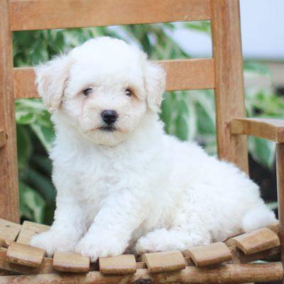 Yvonne - F1 Bichpoo puppy for sale near Morgantown, Pennsylvania