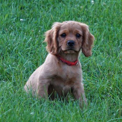 Carter - AKC Cavalier King Charles Spaniel doggie for sale in Manheim, Pennsylvania