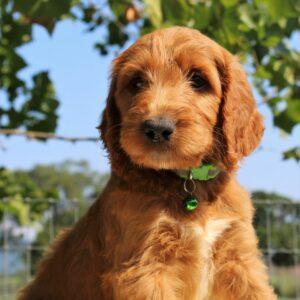 Ladd - f1 Standard Irishdoodle pupper for sale in Mercersburg, Pennsylvania
