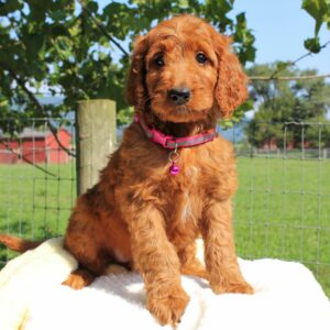 Lady - f1 Standard Irishdoodle puppie for sale near Mercersburg, Pennsylvania
