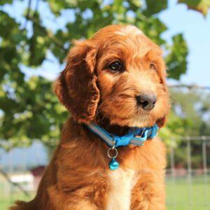 Lando - pup f1 Standard Irishdoodle for sale near Mercersburg, Pennsylvania