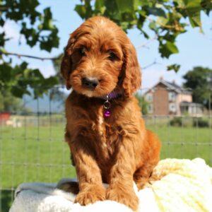 Lassie - f1 Standard Irishdoodle doggie for sale in Mercersburg, Pennsylvania