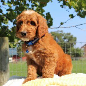 Legend - f1 Standard Irishdoodle puppy for sale in Mercersburg, Pennsylvania