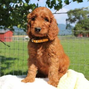 Lacey - f1 Standard Irishdoodle puppy for sale at Mercersburg, Pennsylvania
