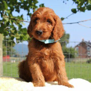 Lennie - f1 Standard Irishdoodle doggie for sale near Mercersburg, Pennsylvania