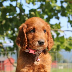 Leona -female f1 Standard Irishdoodle pupper for sale at Mercersburg, Pennsylvania