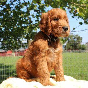 Lodi - f1 Standard Irishdoodle puppie for sale at Mercersburg, Pennsylvania