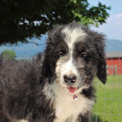 Splash - Bernedoodle puppy for sale in Mercersburg, Pennsylvania