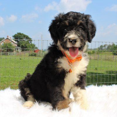 Summer - Bernedoodle female doggie for sale near Mercersburg, Pennsylvania