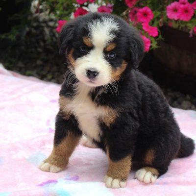 Pending - AKC Miniature Schnauzer pup for sale at Houston, Texas