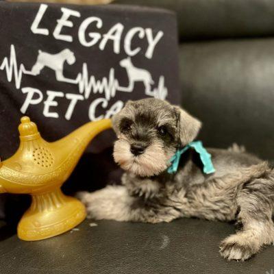 Mr. Fritz - AKC Miniature Schnauzer male doggie for sale in Houston, Texas