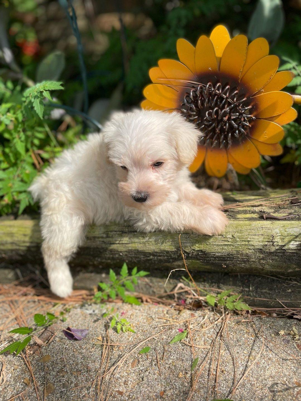 MISTER ALBERT - AKC Minature Schnauzer pup for sale in Houston, Texas
