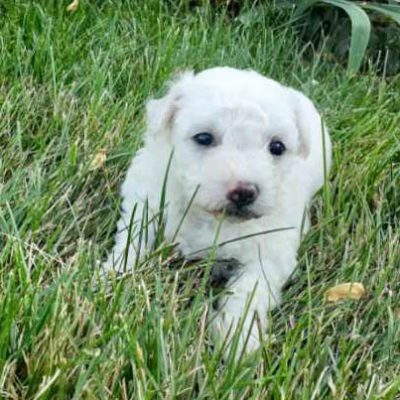 Chrystal - female AKC Bichon Frise puppy for sale near Grabill, Indiana