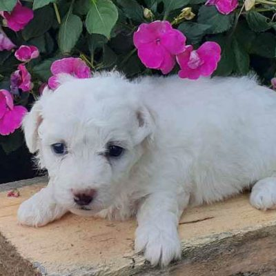 Icy - AKC Bichon Frise male pup for sale at Grabill, Indiana
