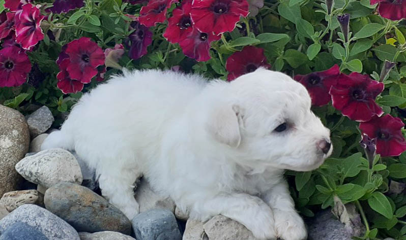 Polar - AKC Bichon Frise male doggie for sale at Grabill, Indiana