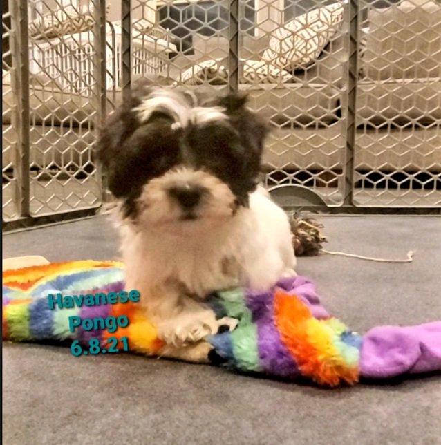 Pongo- AKC Havanese male pup for sale in Katy, Texas