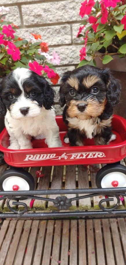 F1 Cavapoo puppies for sale in Richmond, Michigan