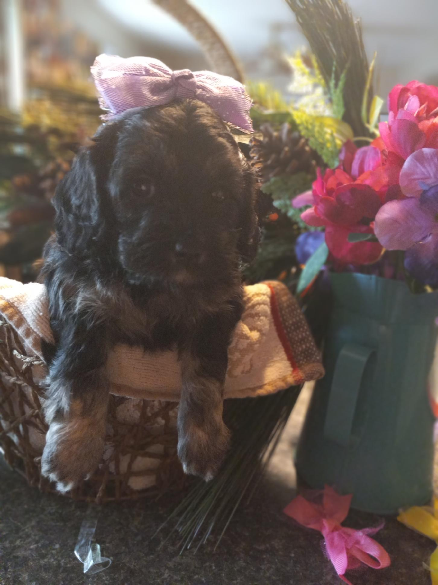 MINI Bernedoodle puppies for sale in Richmond, Michigan