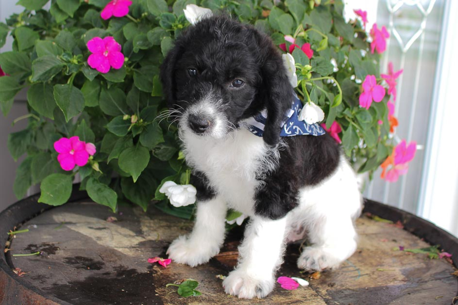 Latte - Jack Russell-Rat Terrier-Poodle mix pupper for sale in Spencerville, Indiana