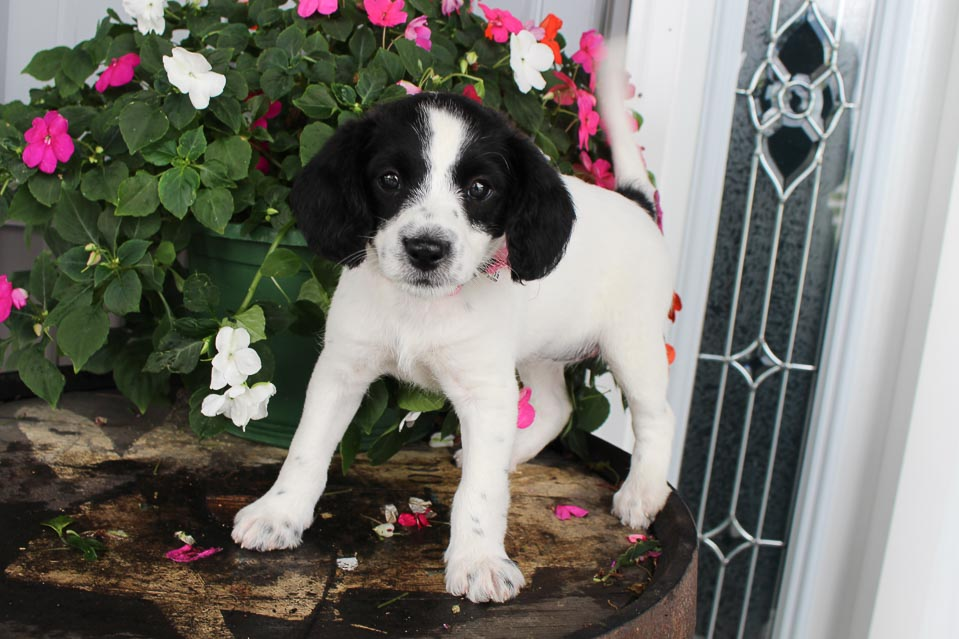 French Vanilla - female Jack Russell-Rat Terrier-Poodle mix puppie for sale at Spencerville, Indiana