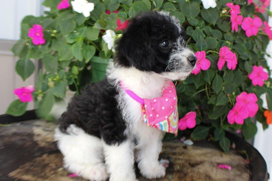 Mocha - Jack Russell-Rat Terrier-Poodle mix doggie for sale near Spencerville, Indiana