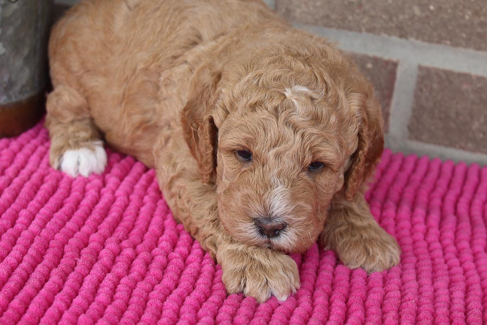 Alexis - Mini F1b Goldendoodle female puppy for sale at Spencerville, Indiana