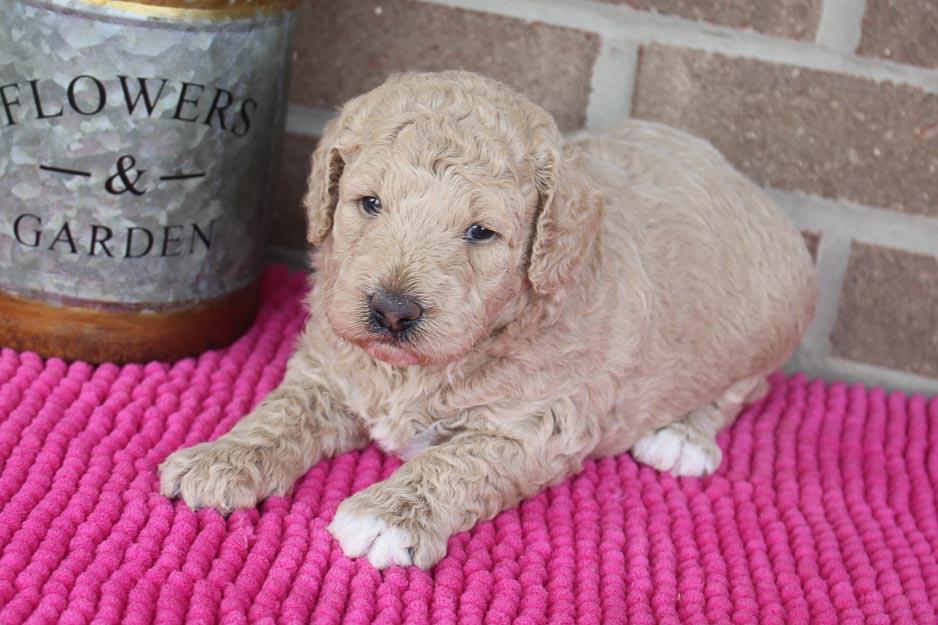 Lola - Mini F1b Goldendoodle female pup for sale near Spencerville, Indiana